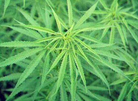 cannabis_02.jpg