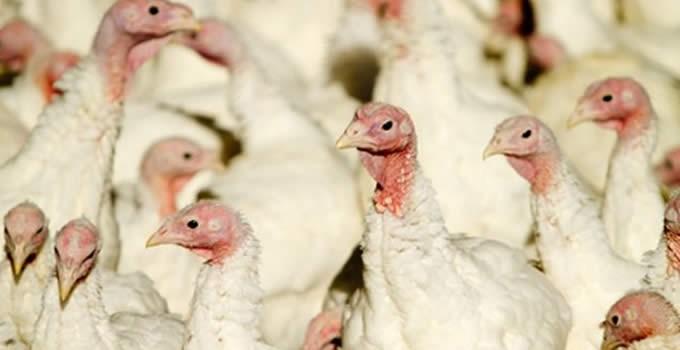grippe_aviaire_ci