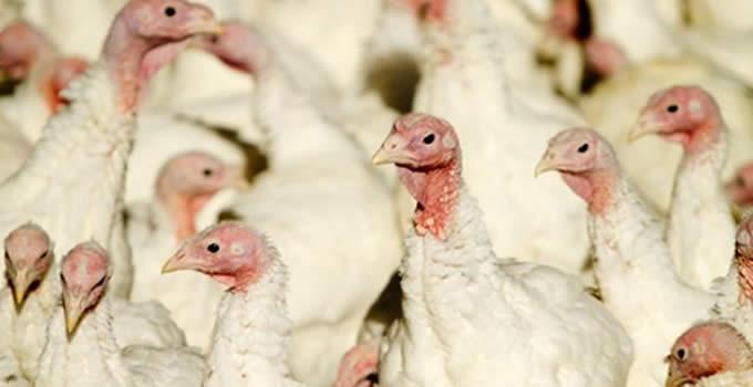 grippe_aviaire_ci.jpg